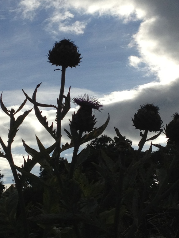 Scottish thistle... symbol of Scotland.